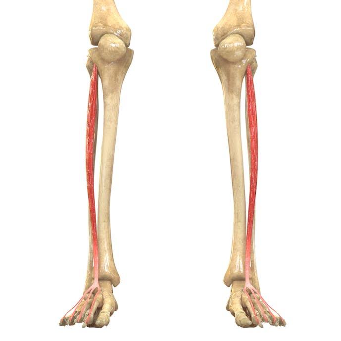 すねの筋肉の名前「長趾伸筋」