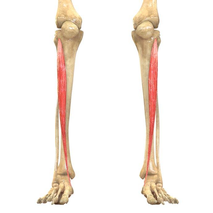 すねの筋肉の名前「前脛骨筋」