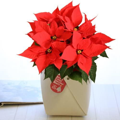 クリスマスプレゼントにおすすめのポインセチアの花束