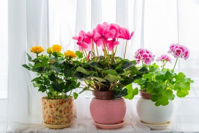 母の日は鉢植えプレゼントがおすすめ。育てやすい多年草 ...