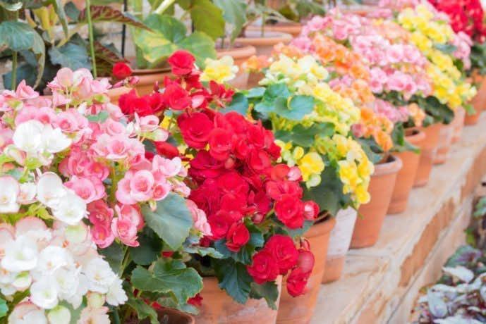 母の日のプレゼントはベゴニアの花束.jpg