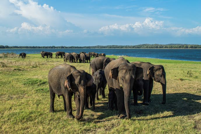 スリランカでおすすめの観光地はミンネリヤ国立公園