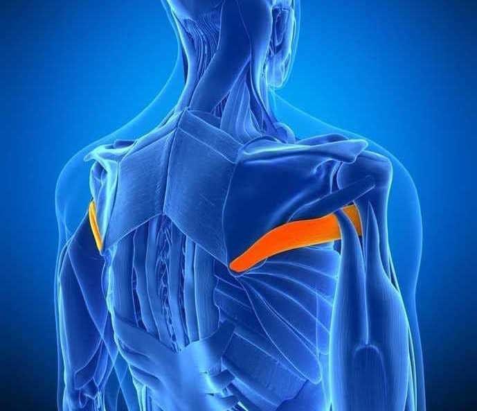 肩甲骨と上腕骨を結ぶ背中の筋肉、大円筋