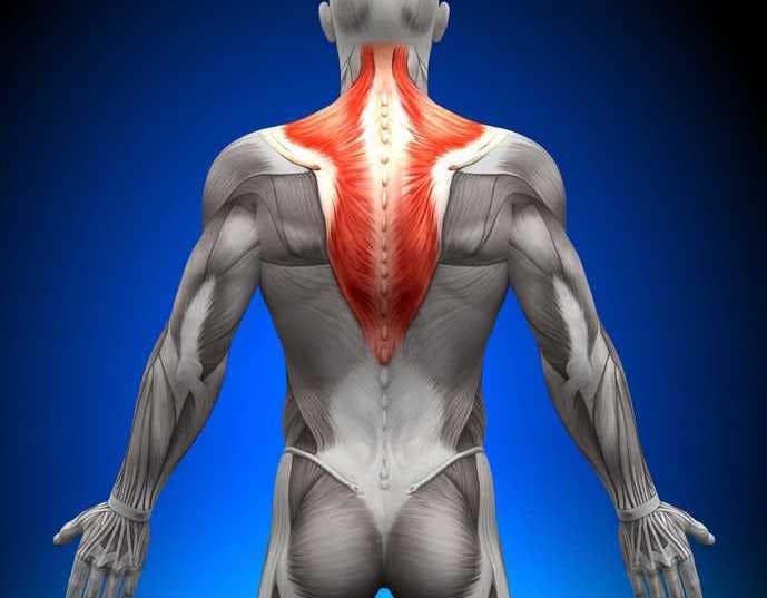 背中で一番面積の大きい筋肉、僧帽筋