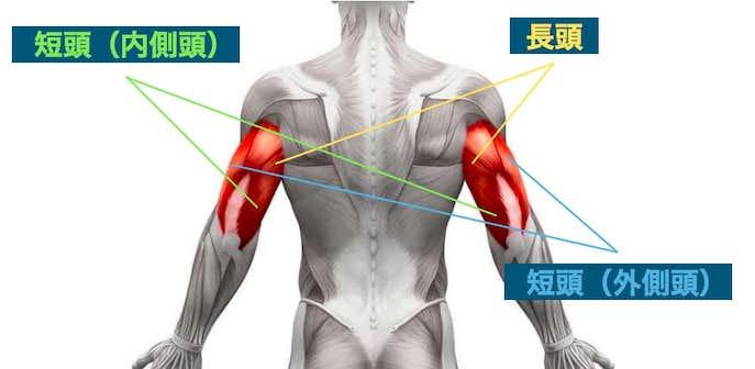 上腕三頭筋の仕組み・構造とは?